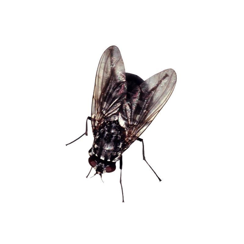 Traitement contre les mouches sur montpellier, LHA